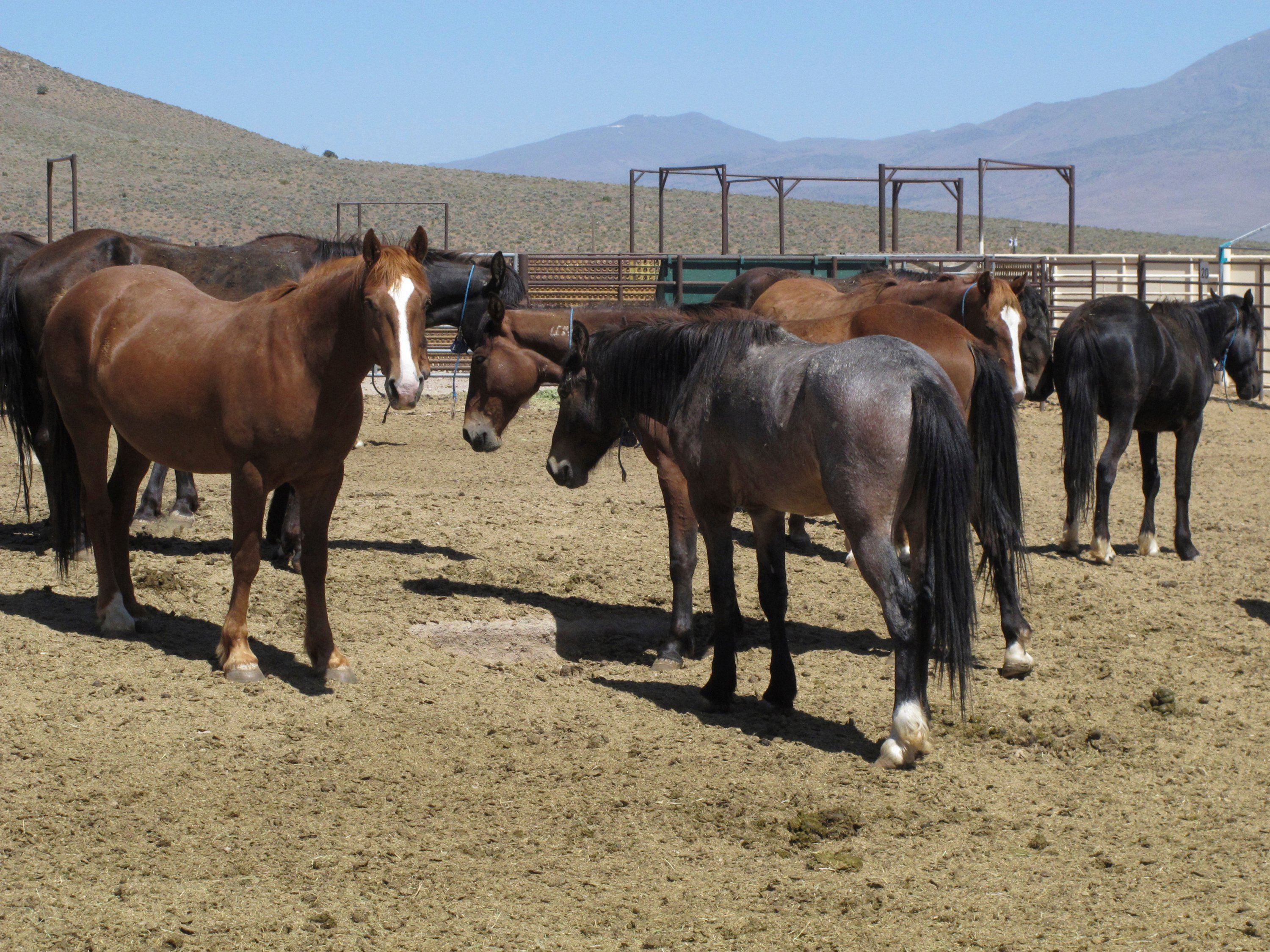US agency may offer $1,000 to people who adopt wild horses