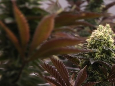 Companies Fight for Piece of Calif. Pot Industry