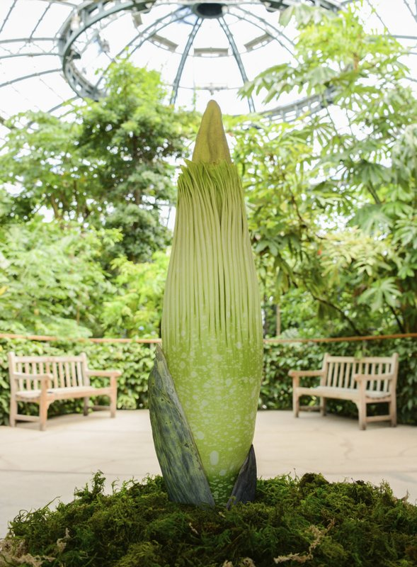 Stinky \'corpse flower\' expected to bloom in California