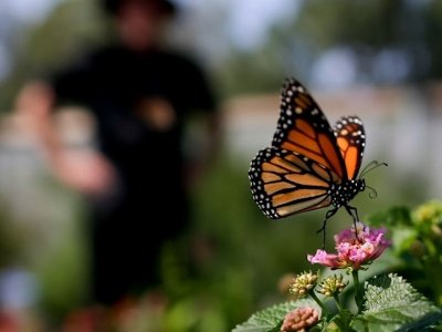 A Milkweed Makeover For the Sake of Butterflies
