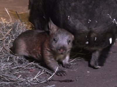 Raw: Chicago Zoo Shows Off New Baby Wombat