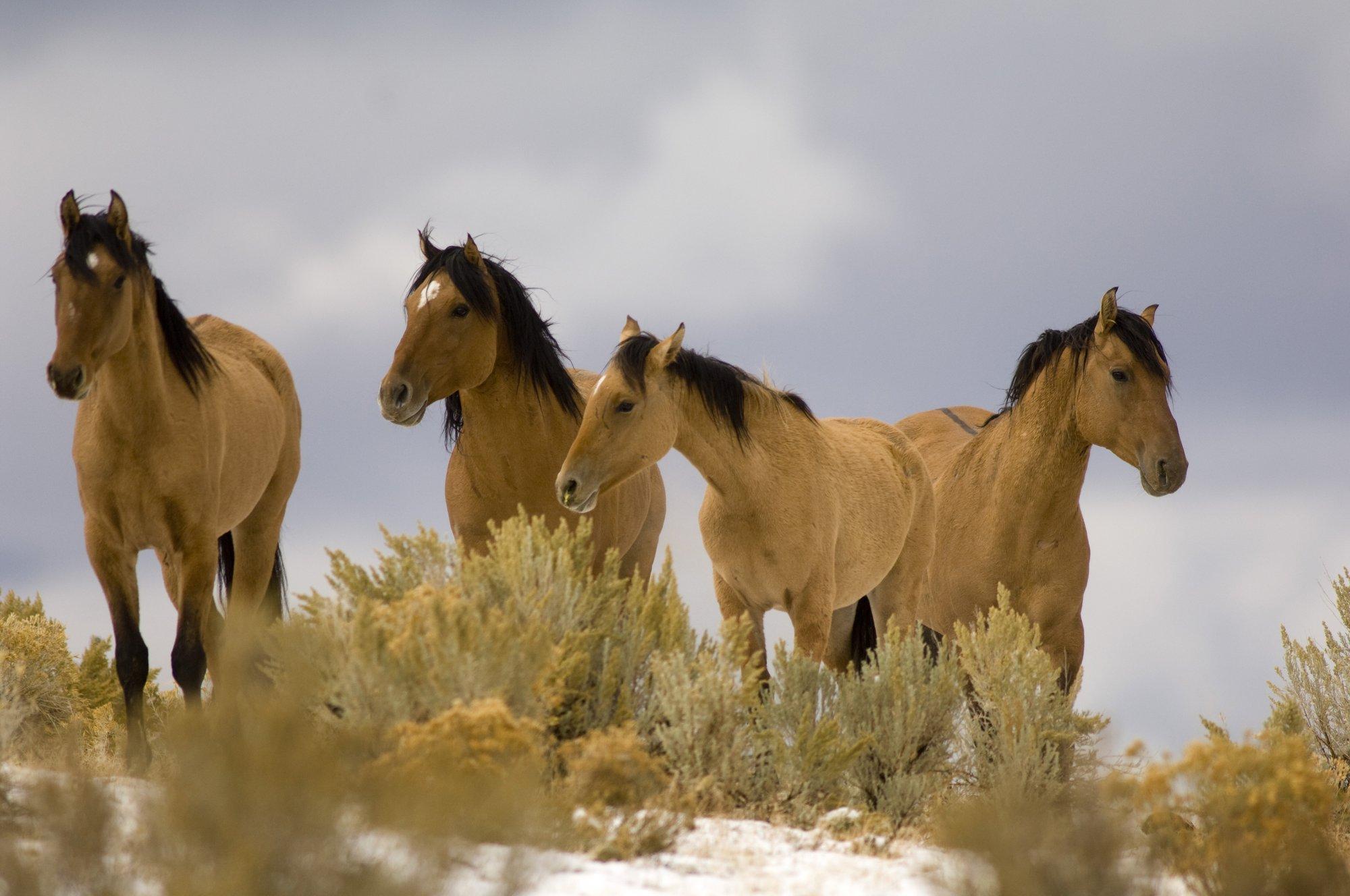 Bureau of land management ends plan to sterilize wild horses