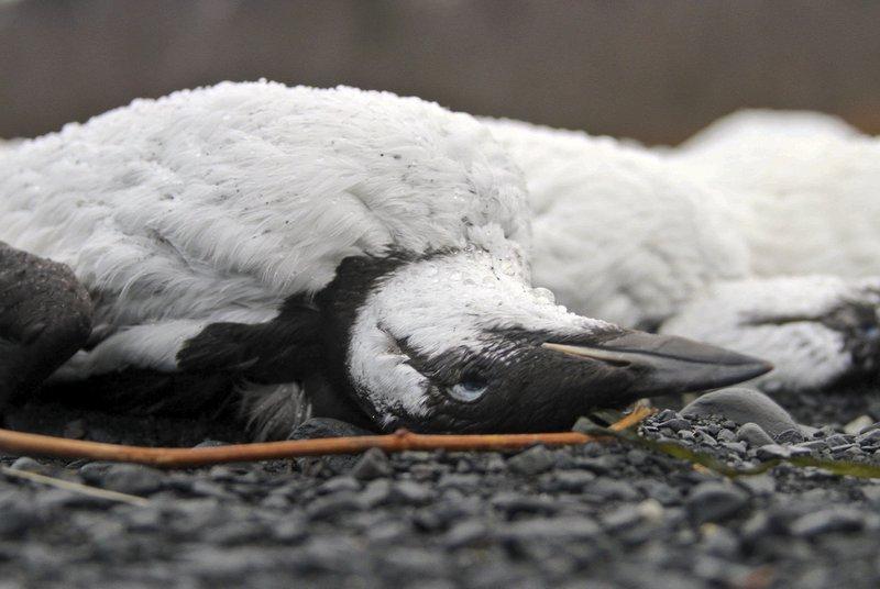 Alaska Bird Deaths