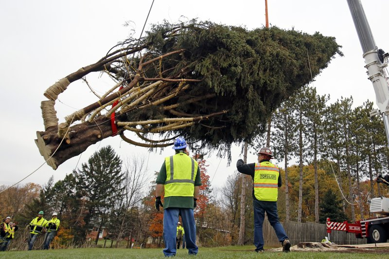 this years rockefeller center christmas tree a 75 foot tall 50 foot in diameter norway spruce weighing more than 12 tons is moved to a flatbed truck