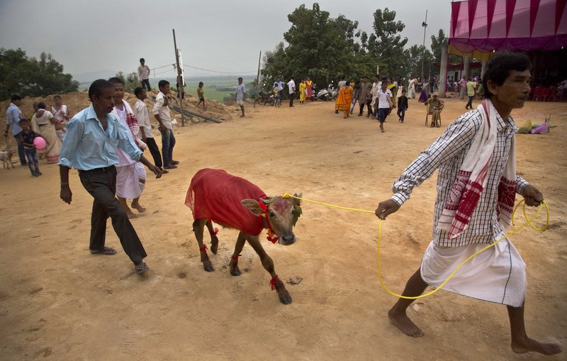 In this Thursday, Sept. 28, 2017 photo, a buffalo calf festooned in colorful decorations is brought to be sacrificed at a temple of Hindu goddess Durga at Rani village on the outskirts in Gauhati, Assam state, India. Participants in the five-day Durga Puja festival believe the sacrifices bring prosperity and good health. But in some parts of India, religious animal sacrifices are banned.
