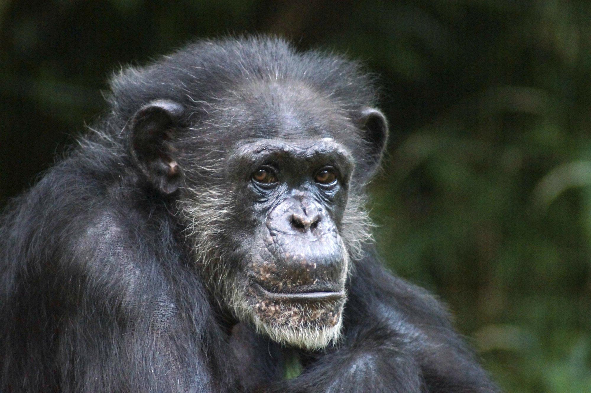 Chimp dies after 35 years as alpha female in N. Carolina zoo