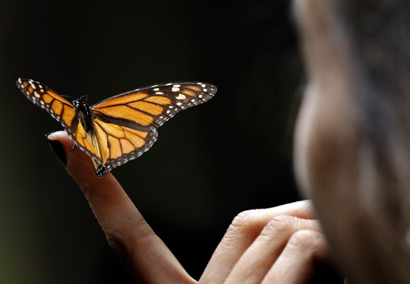 cb527f6a9 Locals find monarch colony in Mexico after yearslong search
