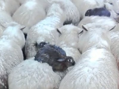 Rabbits Ride to Safety on Sheep Backs