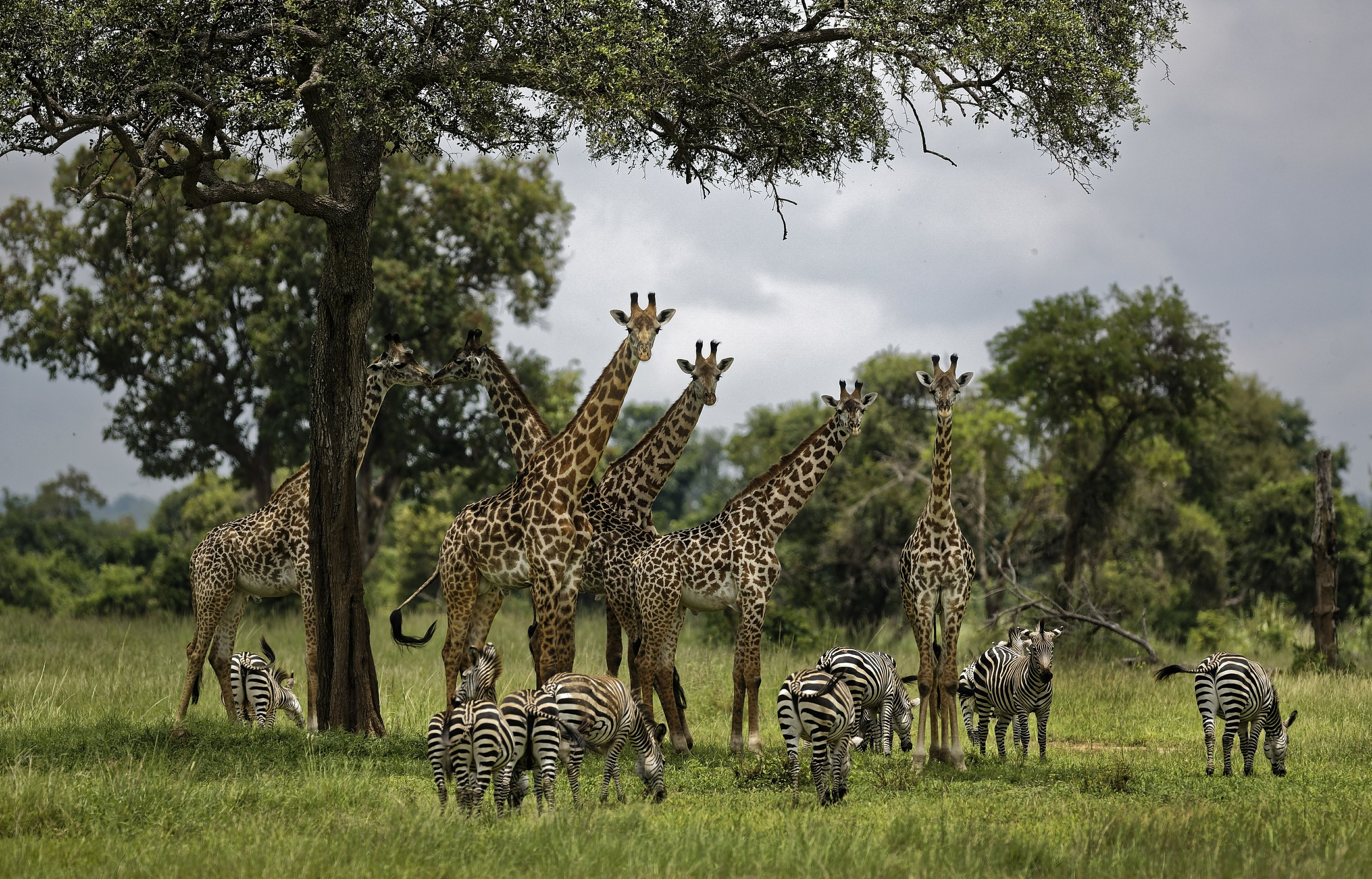 Giraffes a tentative step closer toward federal protections