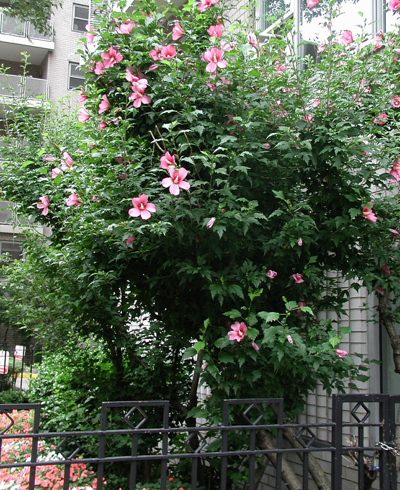 Rose of sharon not a real rose but worth growing not related to rose rose of sharon is a tough shrub that bears colorful blossoms they look like hibiscus blossoms izmirmasajfo