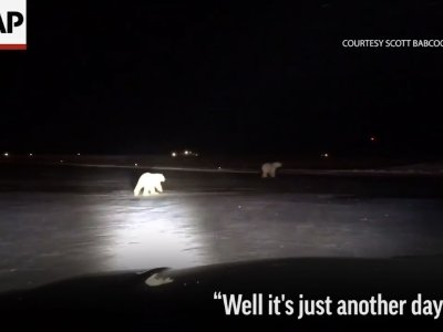 Runway Inspector Finds Polar Bears at AK Airport