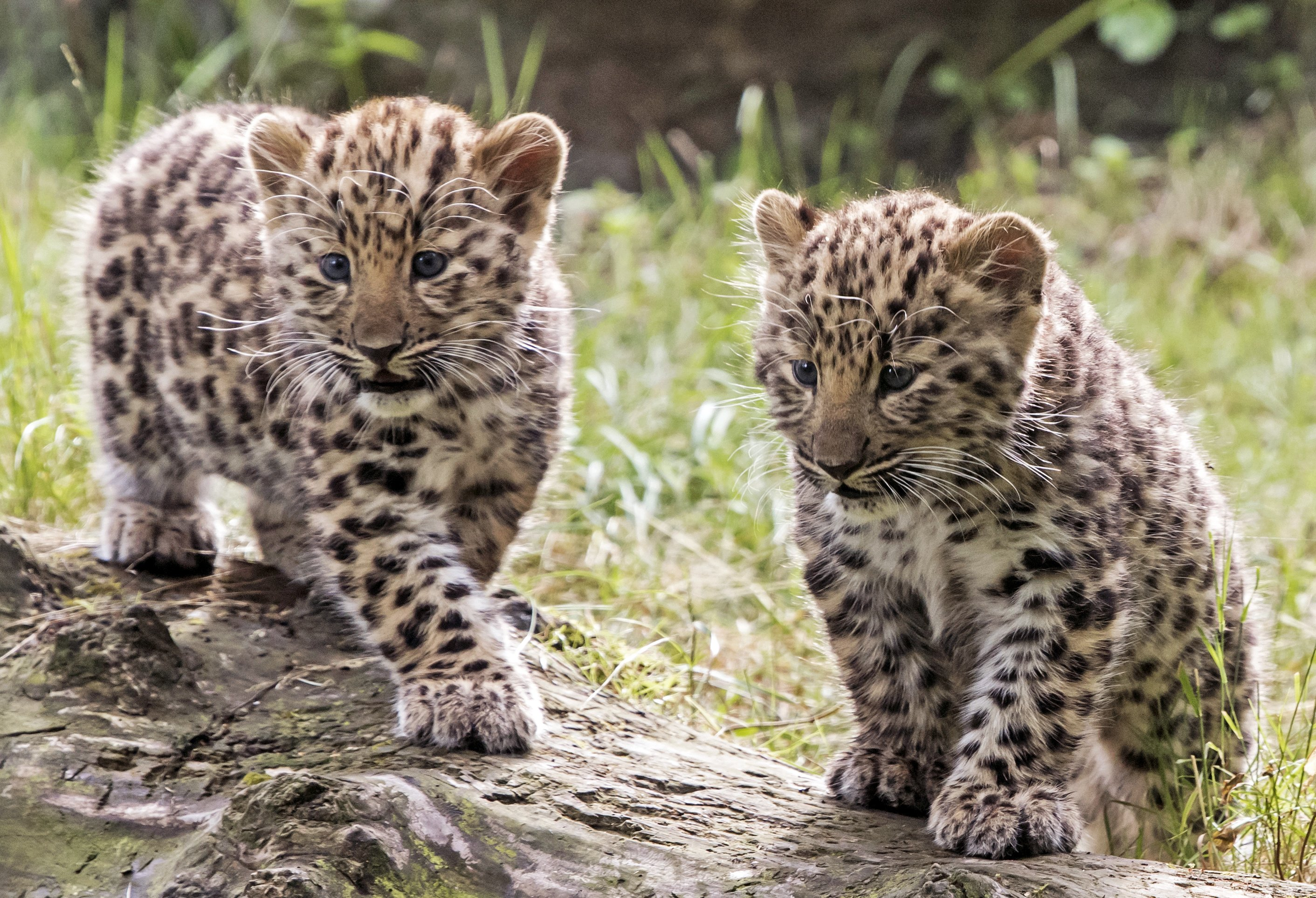 2 leopard cubs make public debut in Germany, names sought