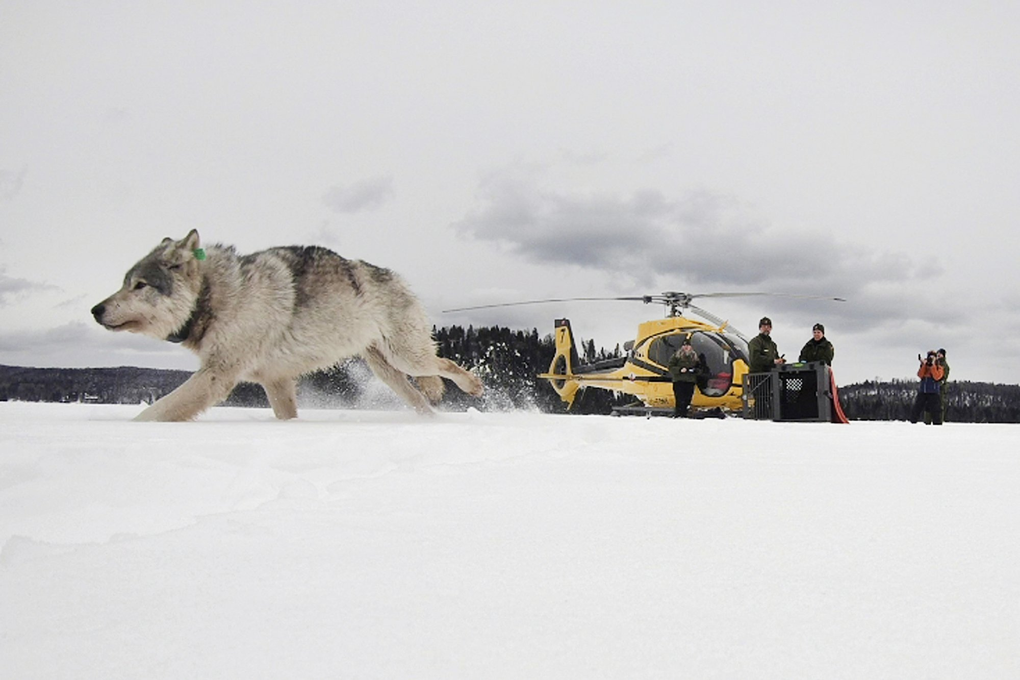 Hungry wolves may get new home at Isle Royale National Park