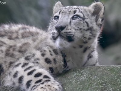 Baby 'Ghost Cat' Makes its Bronx Zoo Debut