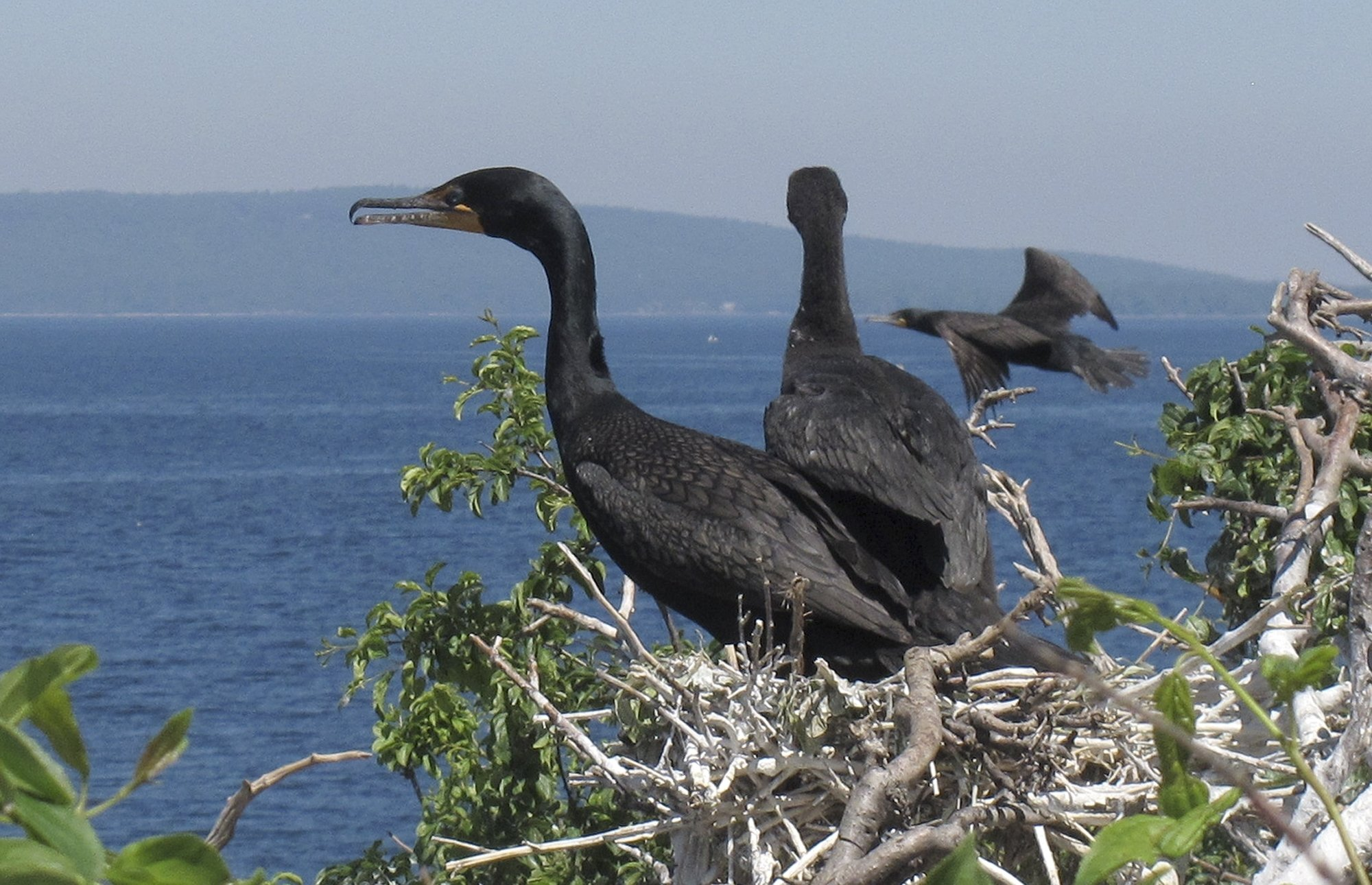 Cormorants get down to business again 4