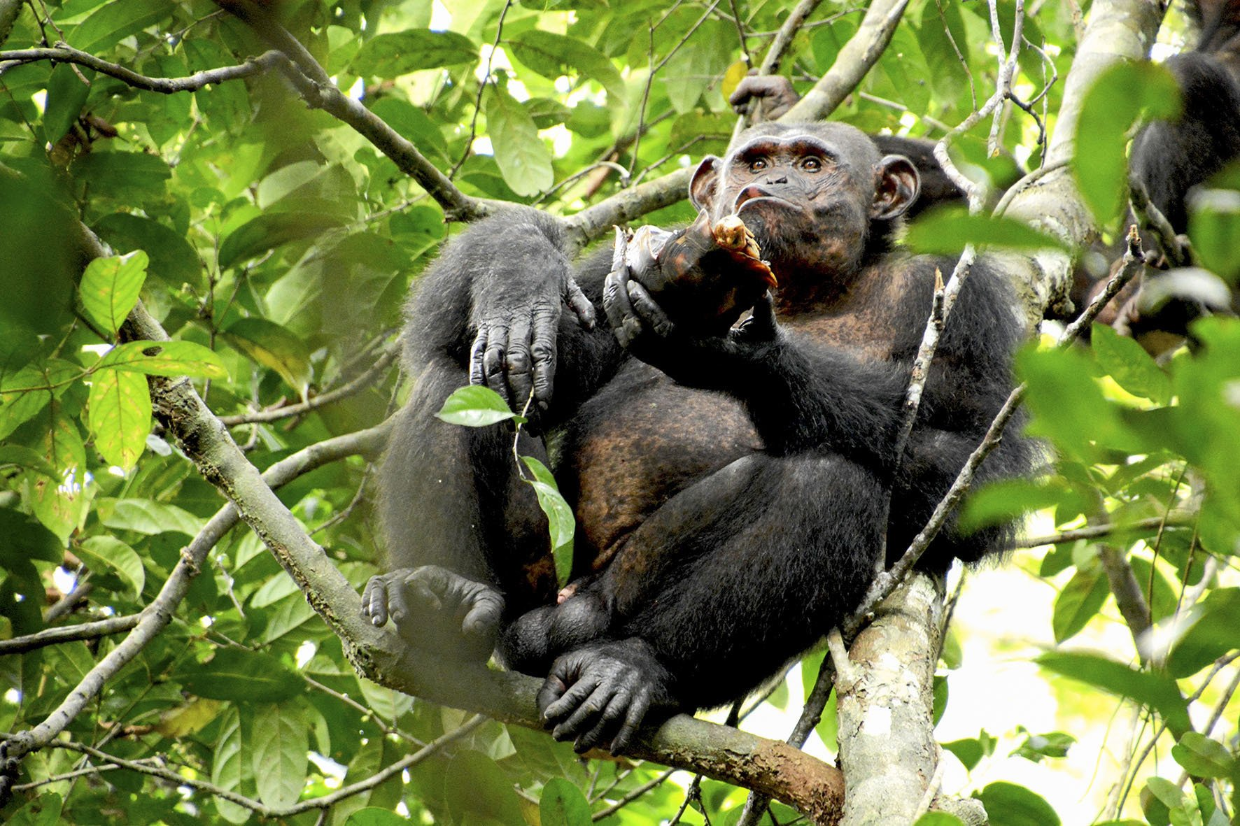 Chimpanzees spotted cracking open tortoises for meat