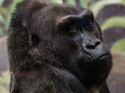Nation's Oldest Known Gorilla Dies at 60