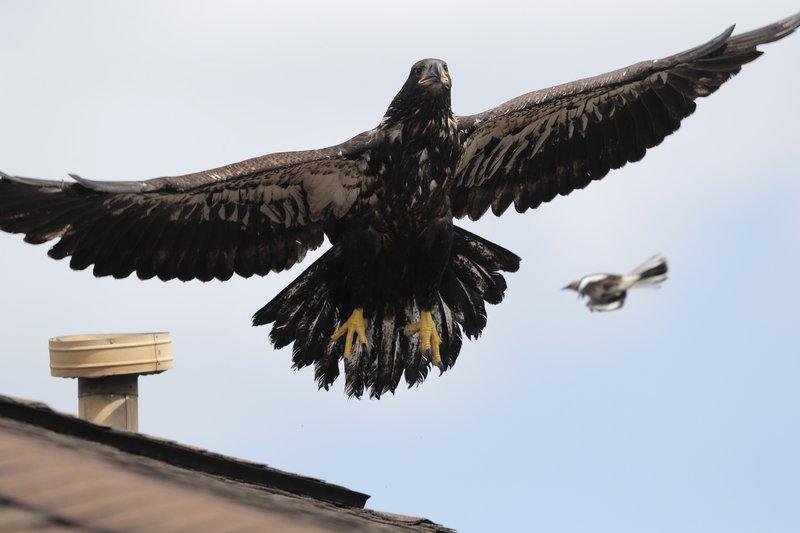 Bald Eaglet Back In Air After 2 Weeks In Wildlife Hospital