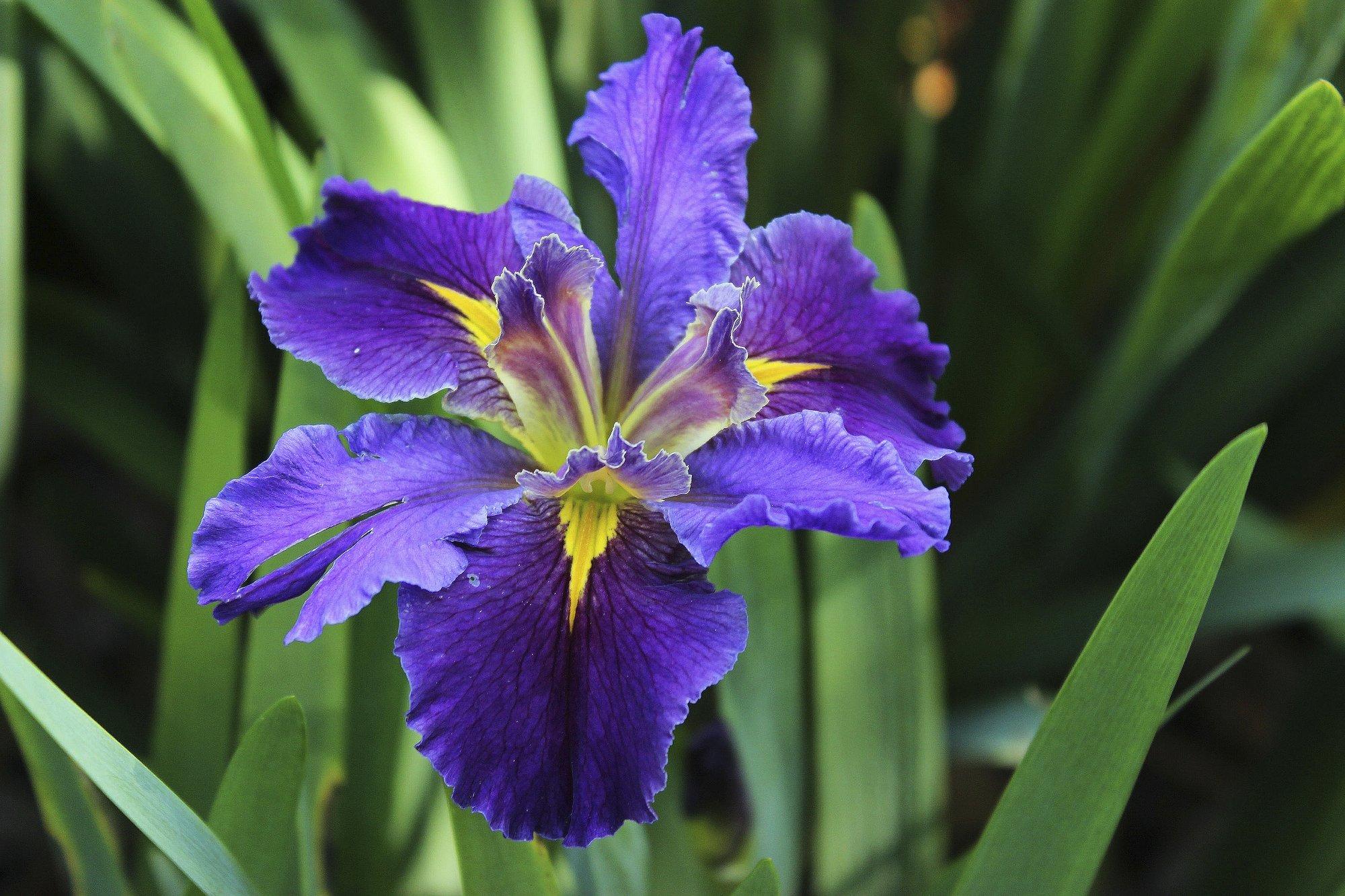 Petal Power Group Works To Preserve Wild Louisiana Irises