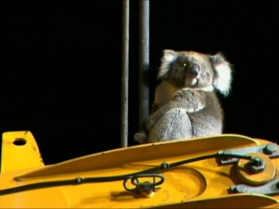 Raw: Koala Rescued from Australian Drilling Rig