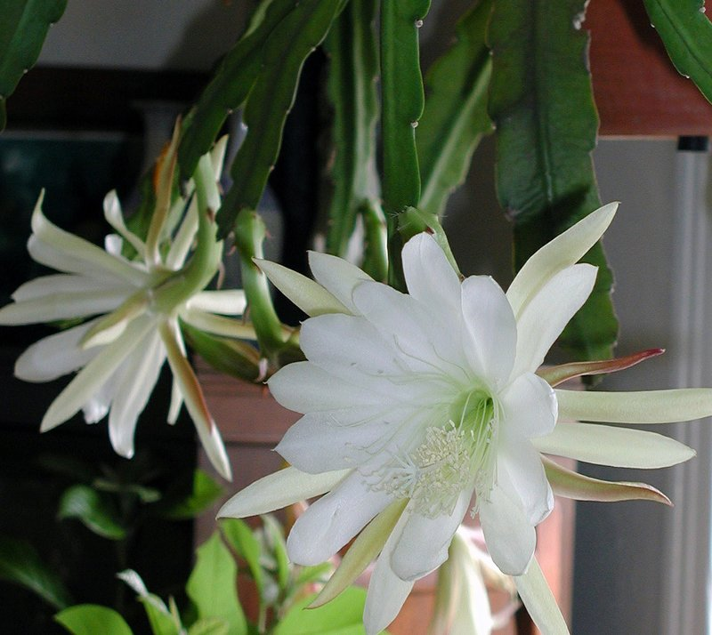 Cereus: a cactus that blooms just a few nights a year