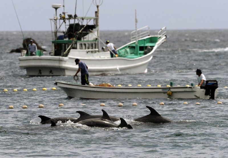 At Japan's dolphin hunt, a struggle between local traditions and global anger