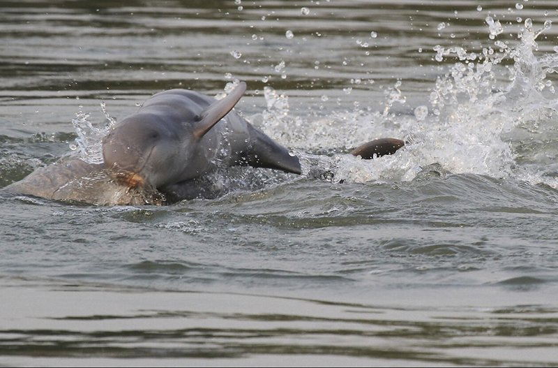 Census finds increase in Mekong River's critically endangered Irrawaddy dolphins (apnews.com)