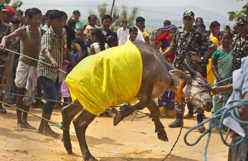 In this Thursday, Sept. 28, 2017 photo, a buffalo struggles as villagers prepare to sacrifice it at a temple of Hindu goddess Durga at Rani village on the outskirts in Gauhati, Assam state, India. Participants in the five-day Durga Puja festival believe the sacrifices bring prosperity and good health. But in some parts of India, religious animal sacrifices are banned.