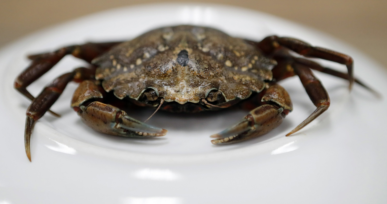 Canadian crabs with bad attitude threaten coastal ecosystem