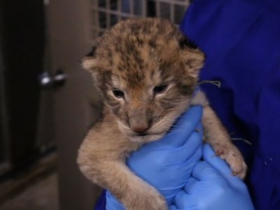 Iowa Zoo's Lion Cubs Get First Check-Up