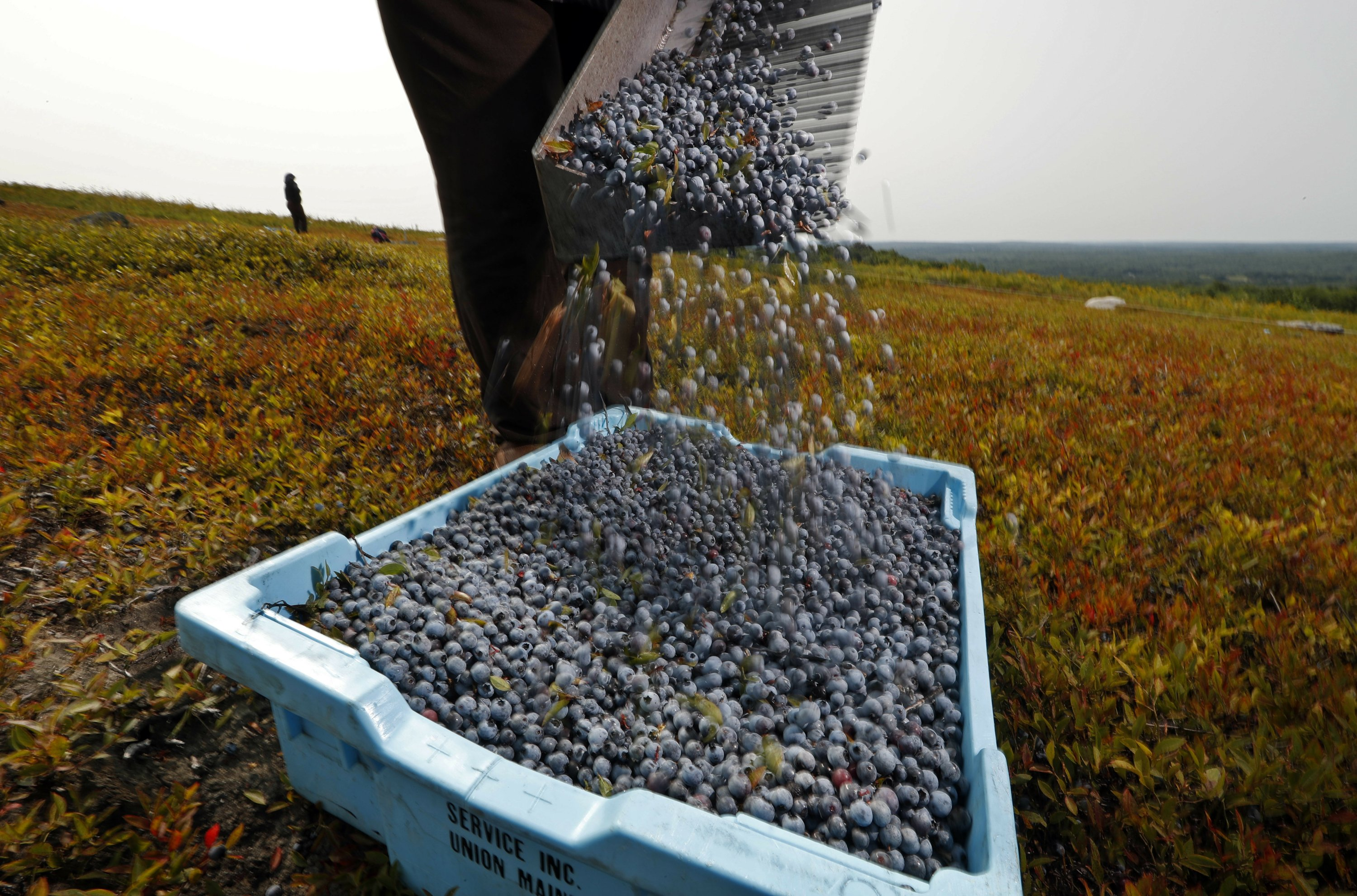 With industry in decline, wild blueberries sing the blues