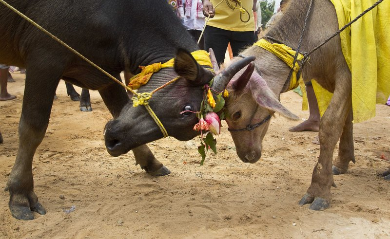 In this Thursday, Sept. 28, 2017 photo, two buffaloes engage themselves in a tussle, as they are prepared to be sacrificed at a temple of Hindu goddess Durga at Rani village on the outskirts in Gauhati, Assam state, India. Participants in the five-day Durga Puja festival believe the sacrifices bring prosperity and good health. But in some parts of India, religious animal sacrifices are banned.