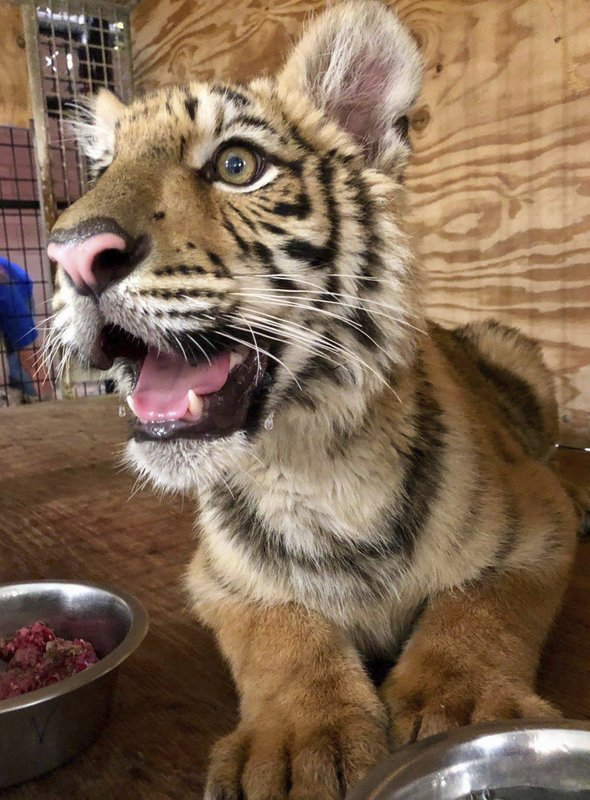This July 27, 2018 Photo Provided By In Sync Exotics Wildlife Rescue And  Educational Center Shows Kenobi, A Male Tiger That Was Abandoned April 30  At The ...