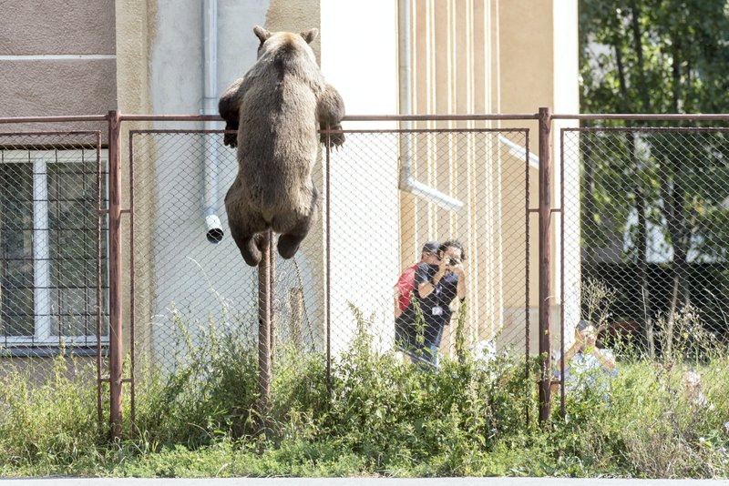 Romania: Bear shot dead after it kills goat, enters school