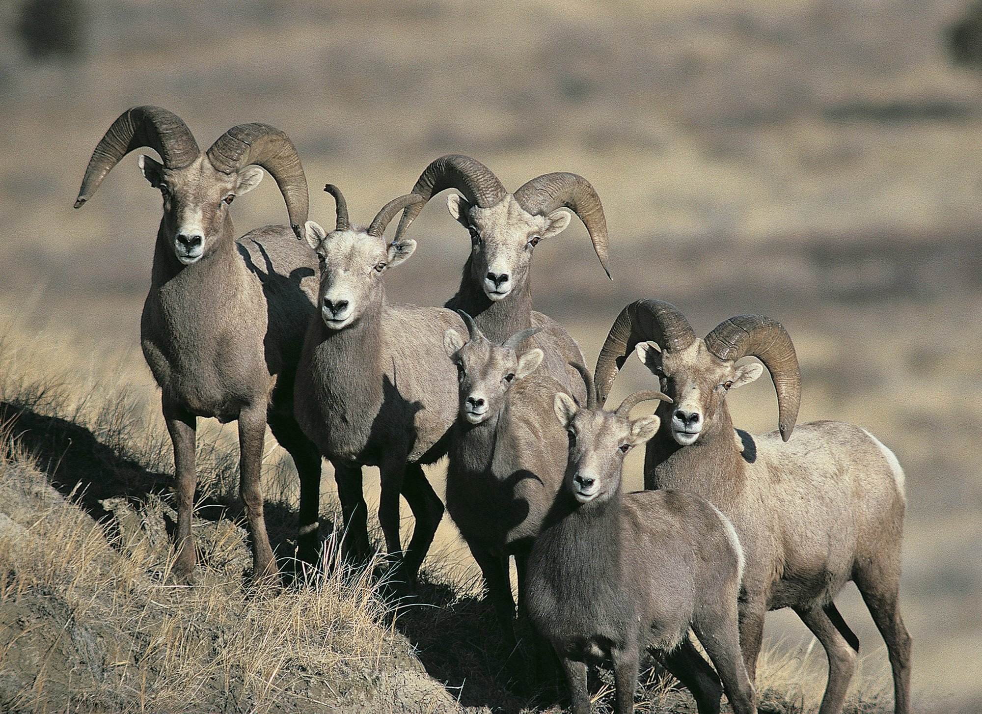 Sick bighorn sheep herd in North Dakota might be improving