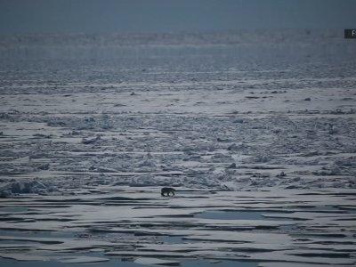 As Arctic Sea Ice Thins, So Do Polar Bears