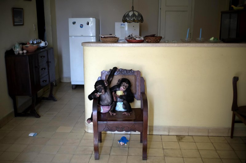 CORRECTS SPELLING OF MARTA   In This April 4, 2017 Photo, Baby Chimpanzee  Anuma II, Left, And Ada Rest In A Chair At Zoologist Marta Llanesu0027 Apartment,  ...