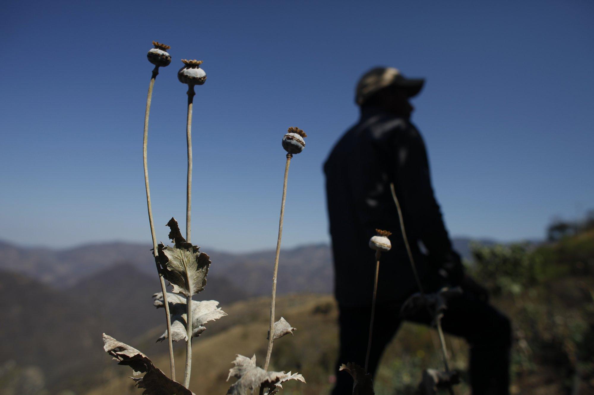 Mexico Opium Poppy Growers See Price Drop Turn To Marijuana