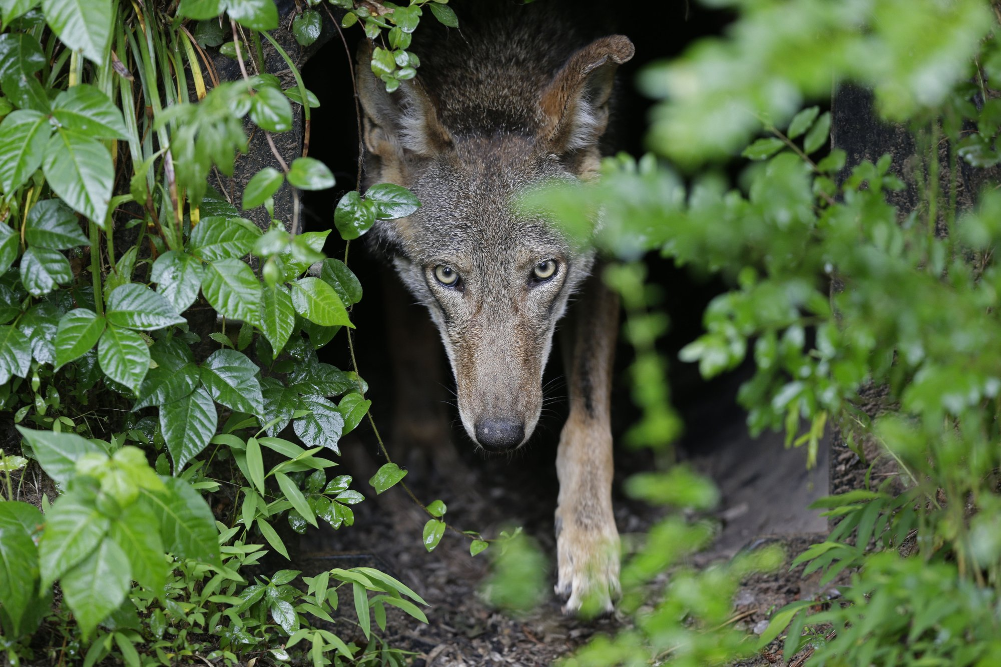 Illegal killings, political opposition hobble wolf recovery
