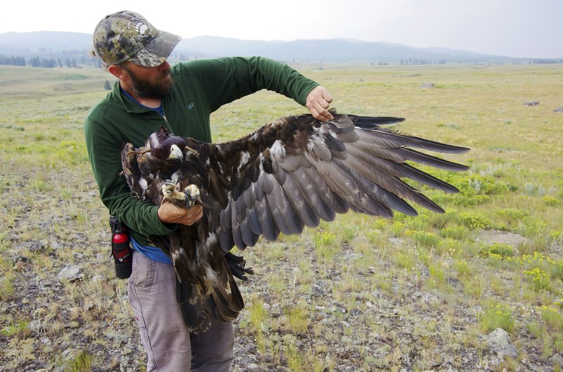 45c2765f3243 Lead kills 1st Yellowstone golden eagle fitted with tracker