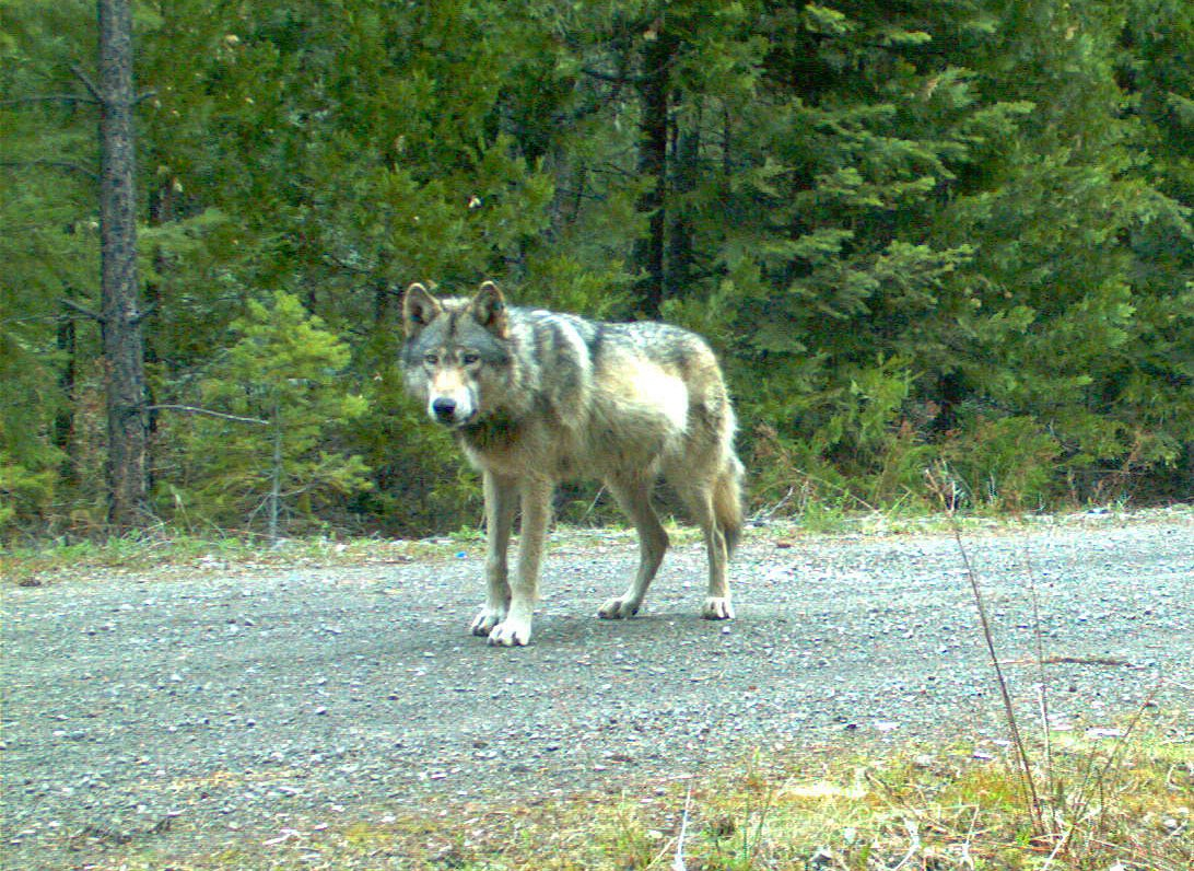 Famous Oregon wolf OR-7 sires 5th consecutive litter of pups