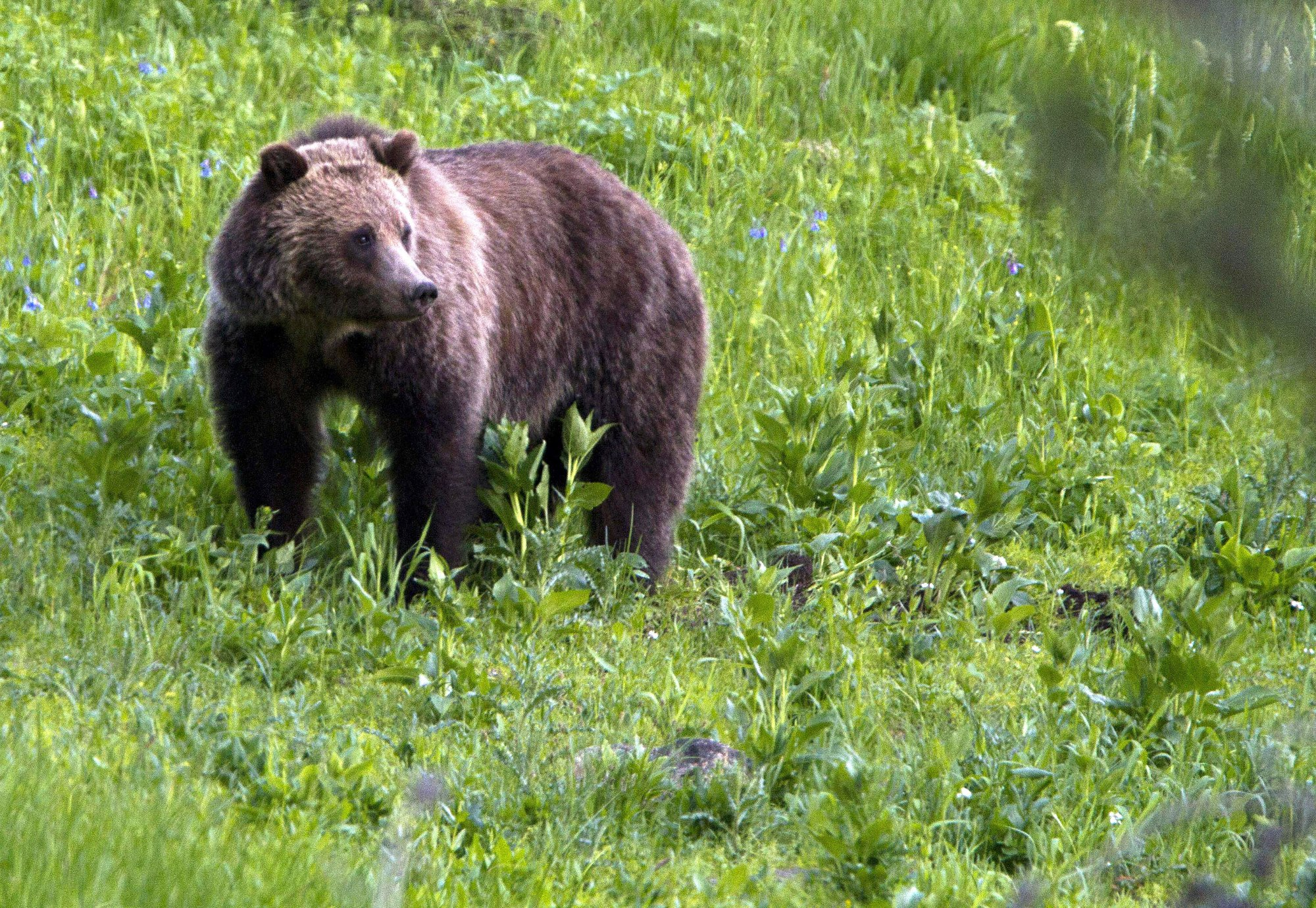 Wyoming, Idaho weigh options after grizzly hunt ruling