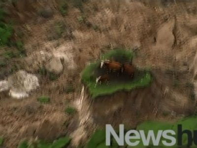 Raw: New Zealand Earthquake Strands Cows