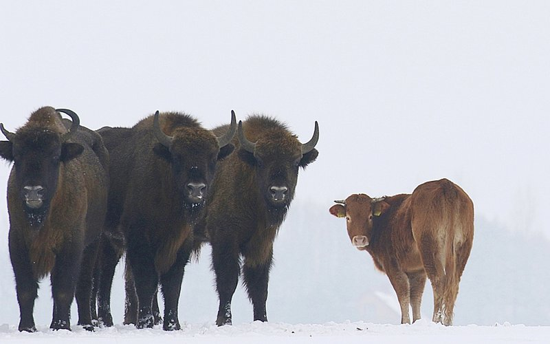 Lost cow found months later with herd of bison