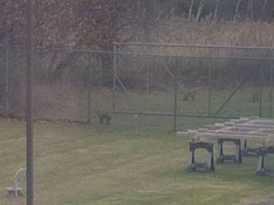 Bobcats Spotted in Vermont Neighborhood