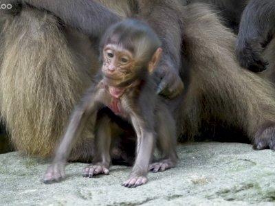 Bronx Zoo Unveils Baby Baboon