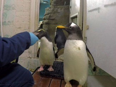 Penguins Give Zookeeper Trouble at Weigh-In