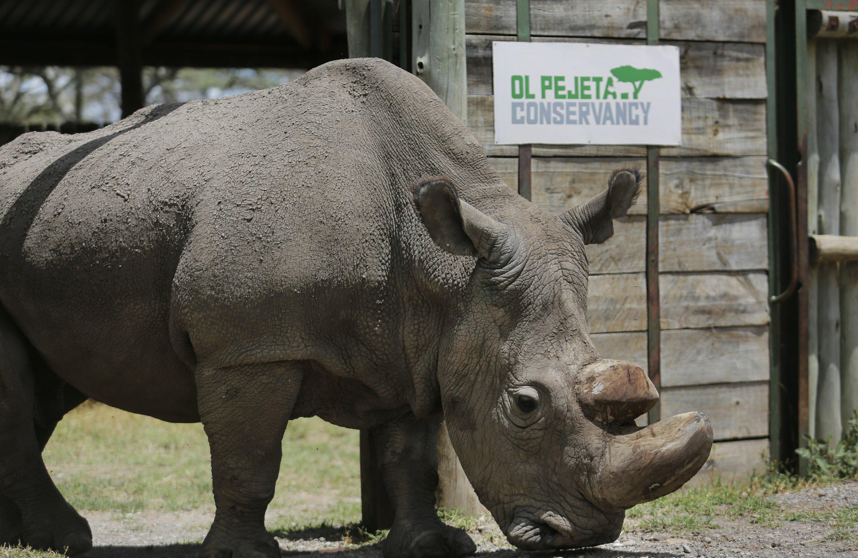 Last male northern white rhino takes a walk despite illness