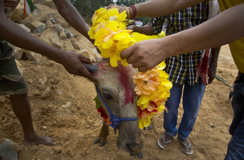 In this Thursday, Sept. 28, 2017 photo, devotees put a garland on a buffalo calf before it is sacrificed at a temple of Hindu goddess Durga at Rani village on the outskirts in Gauhati, Assam state, India. Participants in the five-day Durga Puja festival believe the sacrifices bring prosperity and good health. But in some parts of India, religious animal sacrifices are banned.