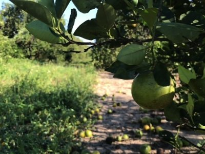 Irma Delivers Serious Punch to Florida Citrus